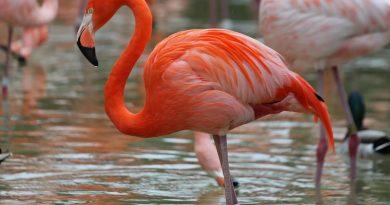 STED.D - Фламинго